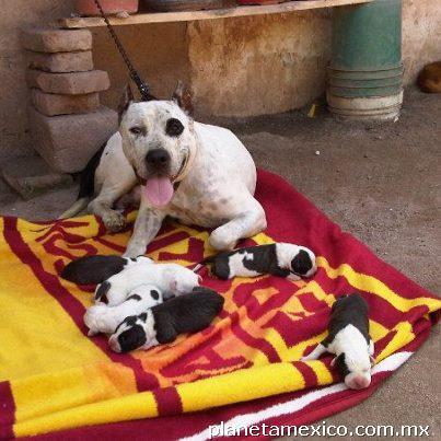 Ventas de perros pitbull en Culiacan: teléfono