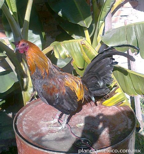 Gallos y pollos mel sims prietos y cruzas en toluca mxn 2000